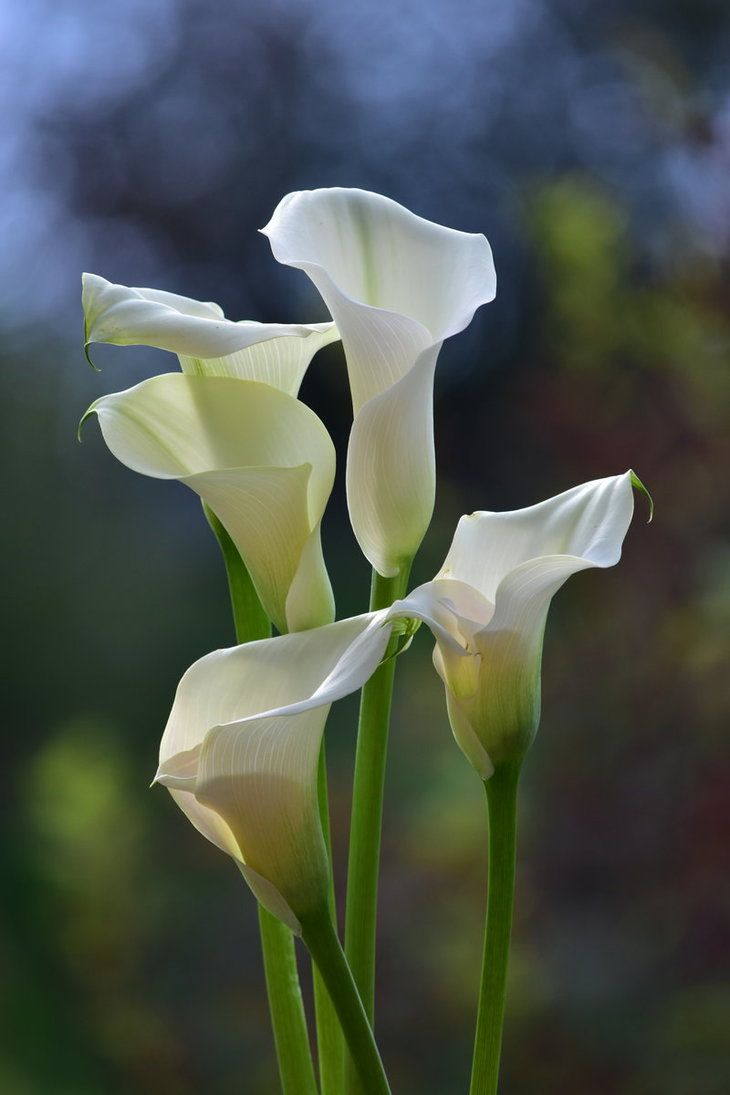 Calla Lilies By Heidi V Art Lily Plants White Lily Flower Calla Lily