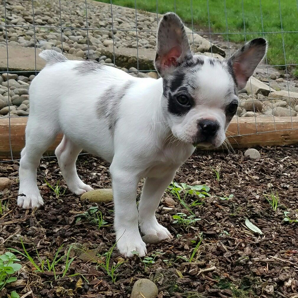 frenchton puppy, french bulldog and boston terrier mix