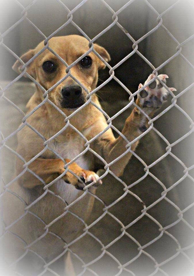 SAFE!! Click for freedom pic! ~ Chihuahua female~ 2-3 years old ~ Kennel A32~***$51 to adopt  Located at Odessa, Texas Animal Control. 432-368-3527.