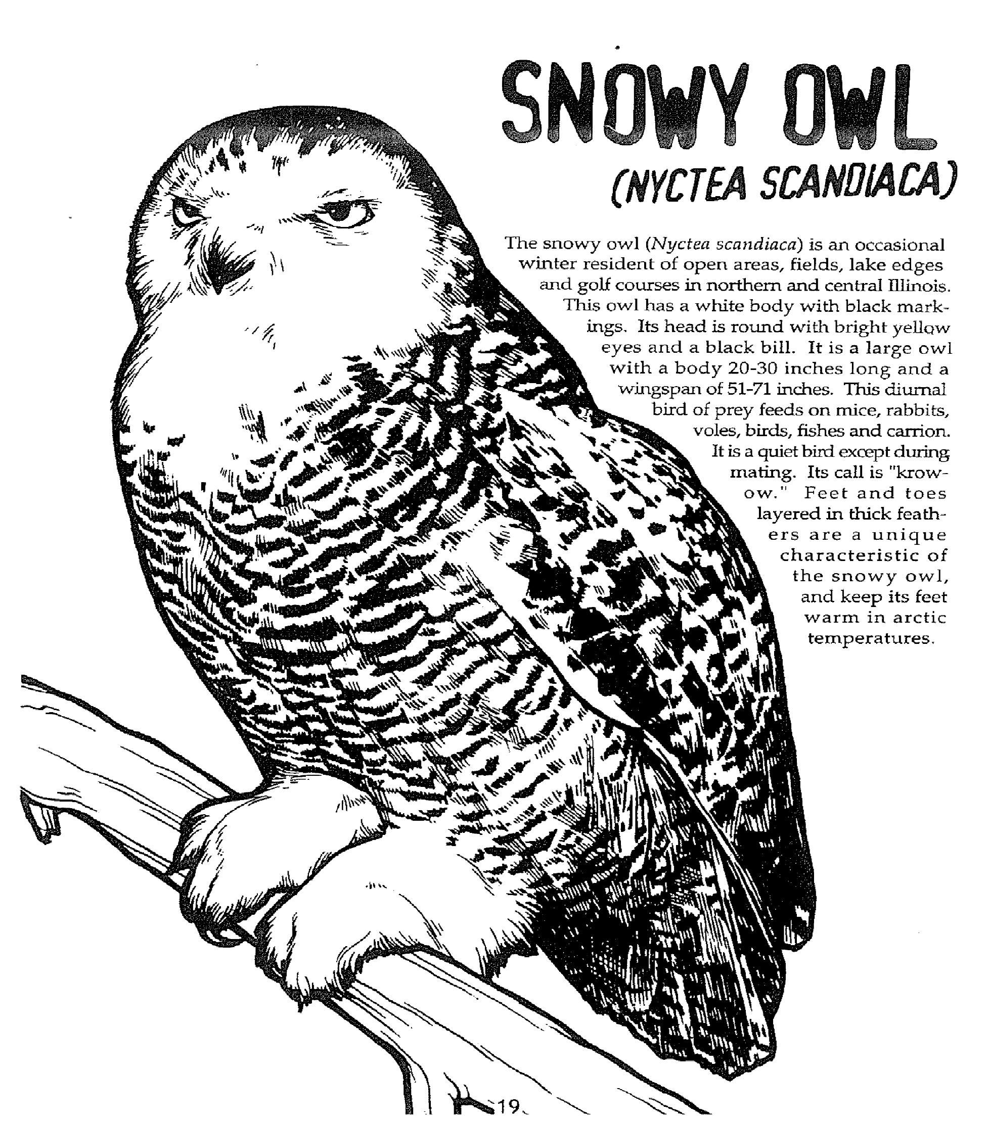 Snowy Owl Info And Coloring Page Part Of The Masters Of