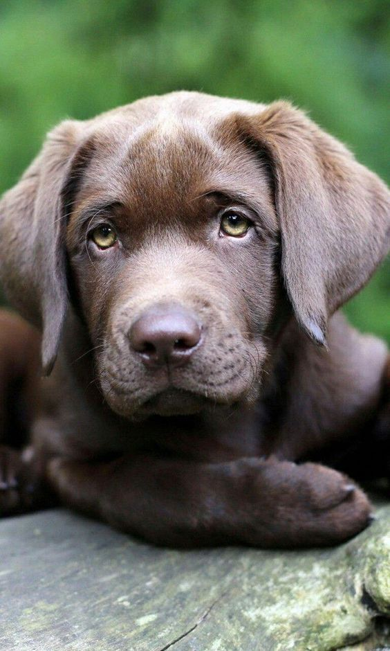 Chocolate Lab Puppy If You Love Labradors Visit Our Blog Labrador Labradorretrieve With Images Labrador Retriever Labrador Puppy Labrador Retriever Puppies