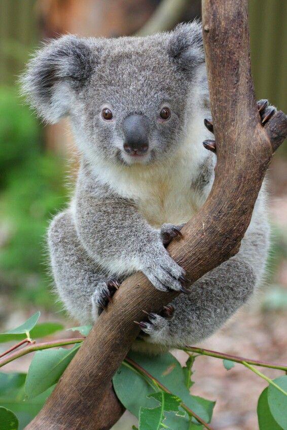 Koala Bear Pics Hd Wallpapers Koala Bear Baby Koala Koala