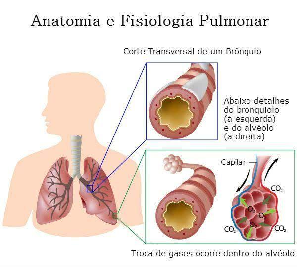 Detalhes dos Brônquios, Bronquíolos e Alvéolos e das trocas gasosas ...