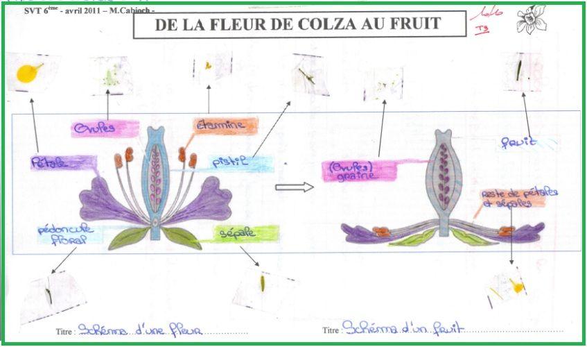 De La Fleur Au Fruit Svt 6eme
