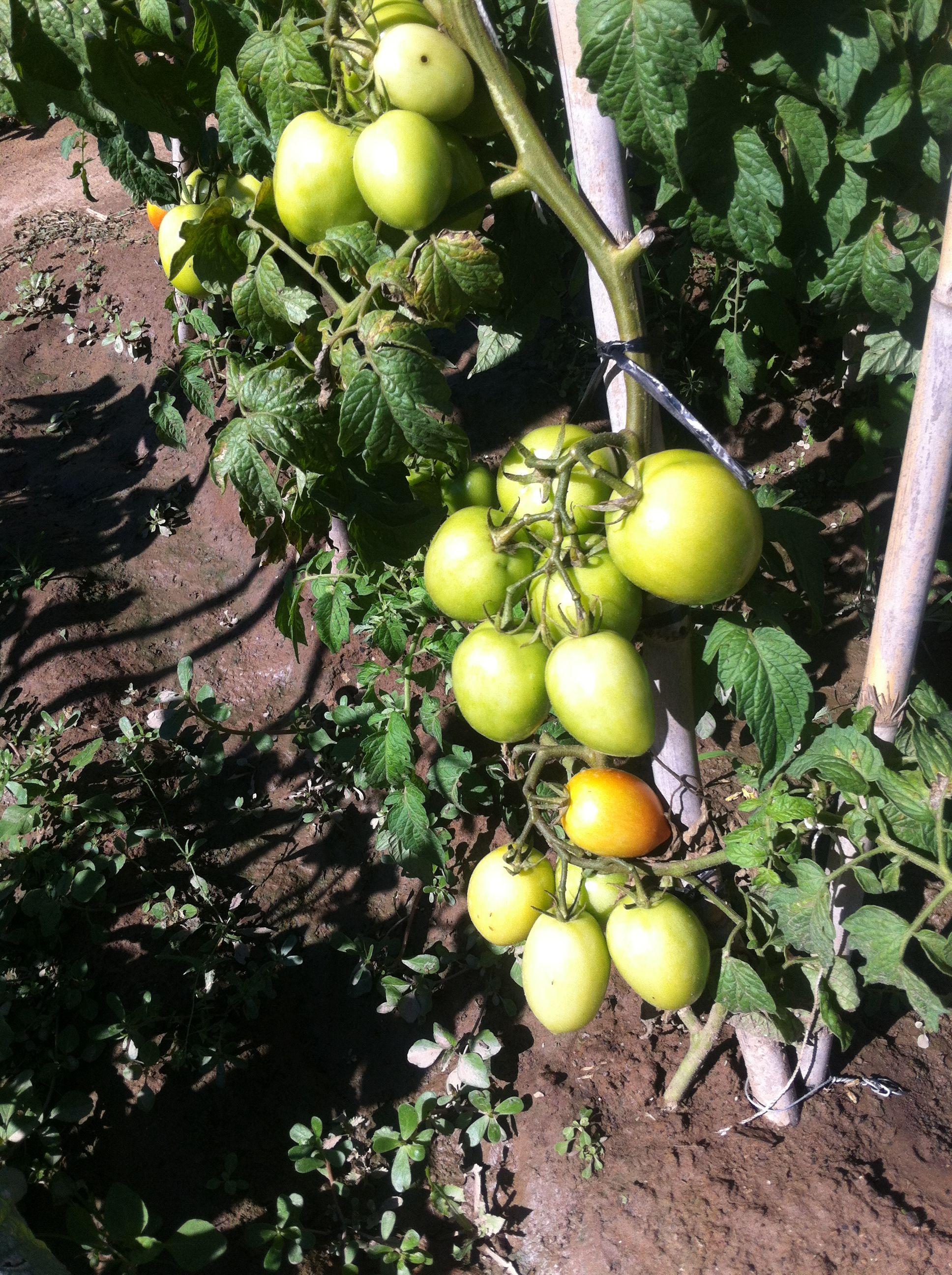 Tomates de pera.