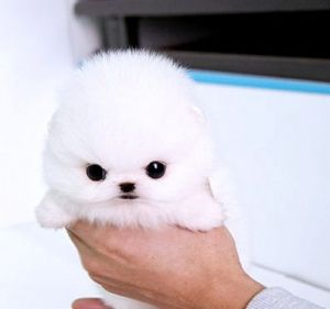 White Princesa Puppy Micro Teacup Pomeranian By Punkmarkgirl Cute Baby Animals Cute Animals Baby Animals