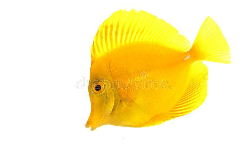 Yellow Tang Fish Zebrasoma Flavescens Isolated On White Background Sponsored Fish Zebrasoma Yellow Tang White Ad Tang Fish Fish Fish Stock
