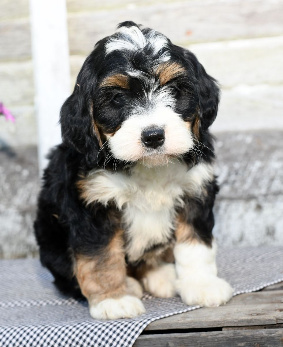 Puppies For Sale Bernedoodle Puppy
