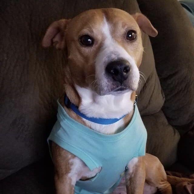 Adopt Angelica On Dog List Bull Terrier Mix Pitbull Terrier