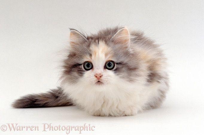 Cute Tortoiseshell Kittens