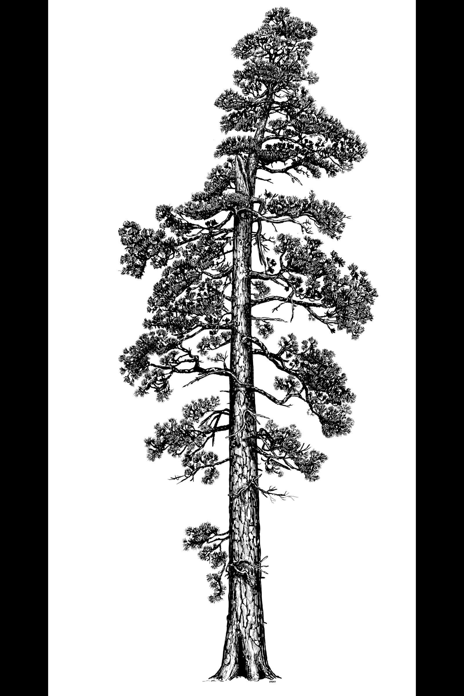 Redwood Trees Illustration
