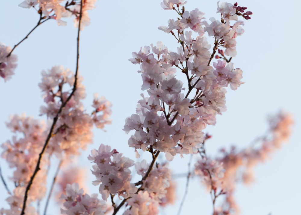 Cherry Blossom Branches Nature Poster Print Metal Posters Displate Cherry Blossom Art Nature Posters Cherry Blossom Branch