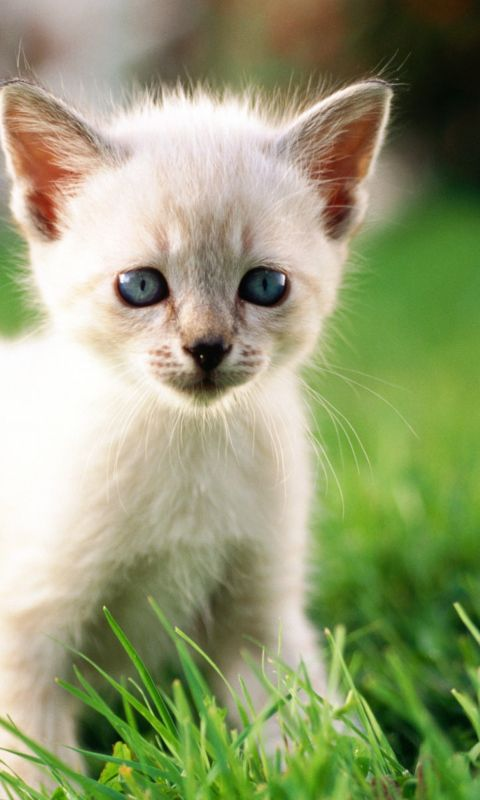 Thai Kitten Wallpaper 480x800