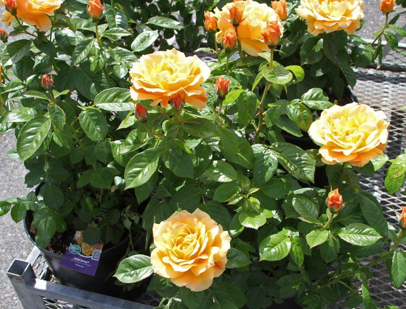 Easy Going Floribunda Rose Dark Green Glossy Leaves That Are Highly Resistant To Black Spot Peachy Golden Flowe Floribunda Roses Rose Fertilizer Rose Care