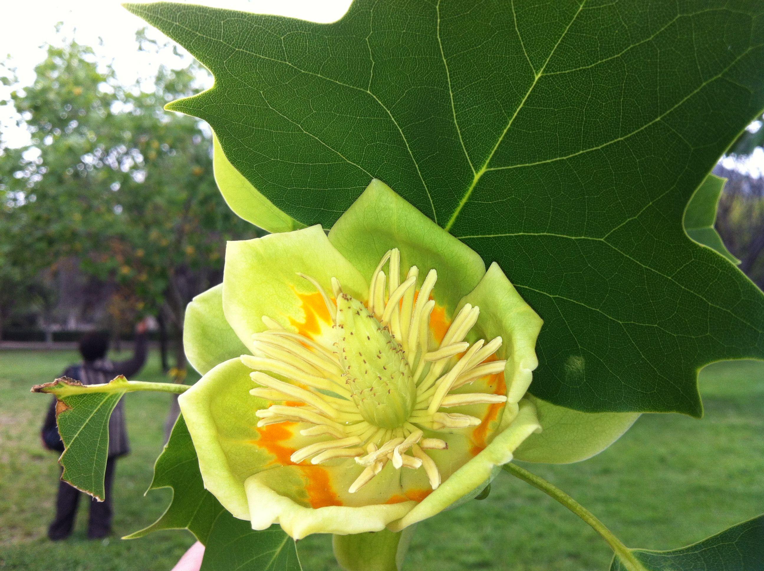Flor verde limón