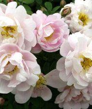 Rosa Pimpinellifolia-ryhjmä 'Juhannusmorsian - morsionruusu