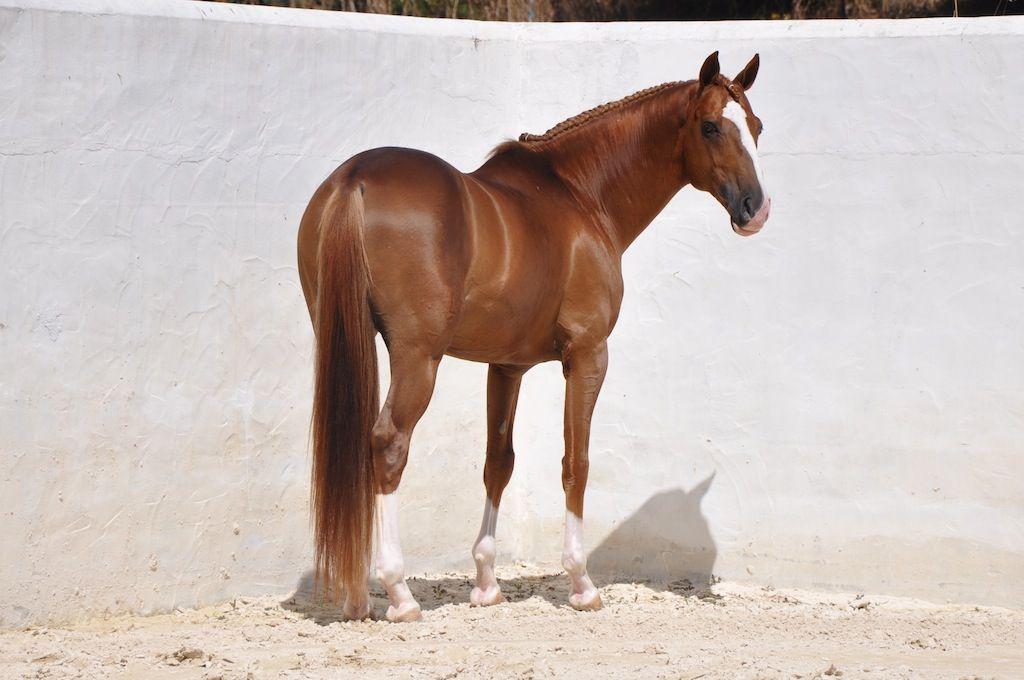 Stunning Chestnut Stallion – Lusitano Horse Finder