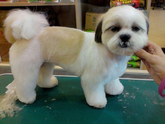 Shih Tzu Dogs Haircuts In Dog Hond Kapsels Hond Trimmen Hondenkapsalon