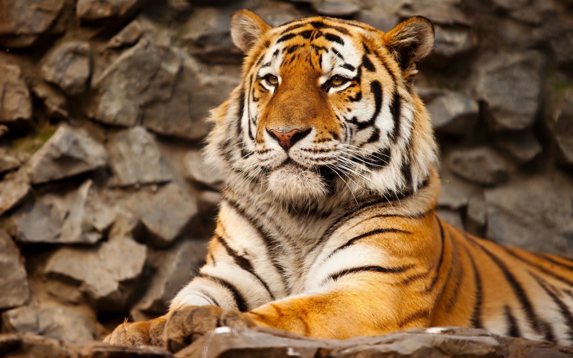 high resolution wallpapers tiger picwhistler gill (2017-03-04