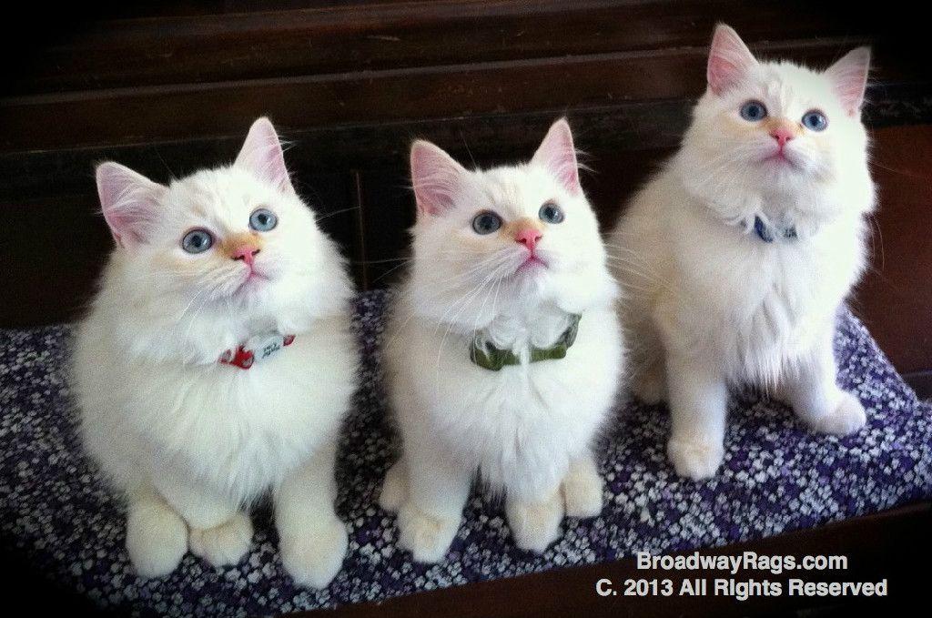 Ragdoll Kitten For Sale Nyc New York New Jersey Connecticut Pennsylvania Ragdoll Kittens For Sale Kitten For Sale Kitten Adoption