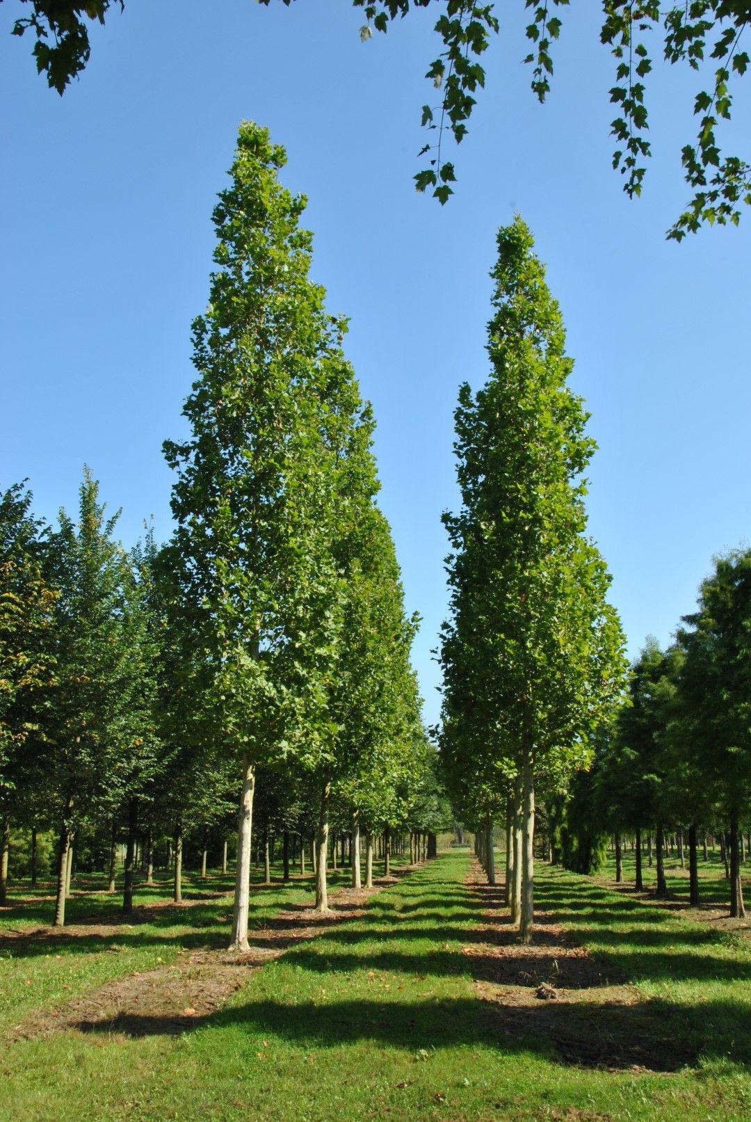 Platanus Acerifolia Huissen Stromy A Kee Do Zahrad Garden Trees Amp Shrubs Garden Trees