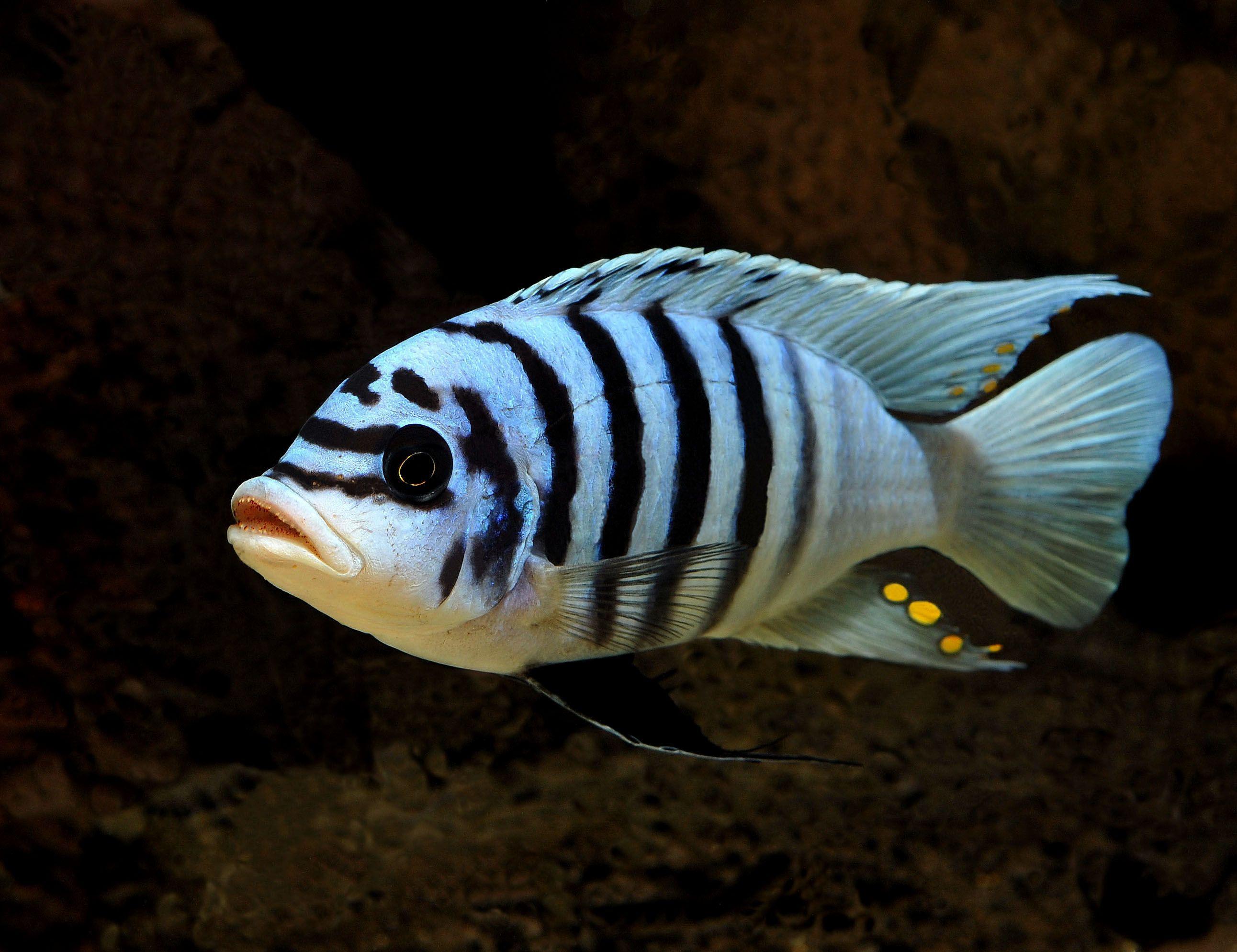 Metriaclima sp lanisticola north aquariums n fish for African cichlid fish