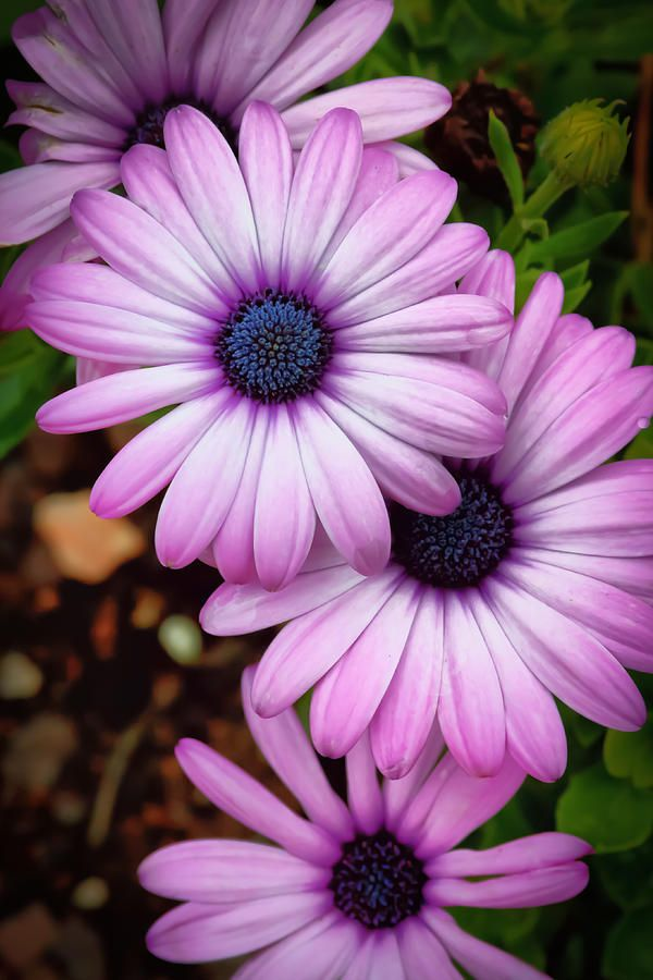 Nice Flower Tattoo Ideas For Women: African Daisies. Would Make A Nice Tattoo. I Could Put My