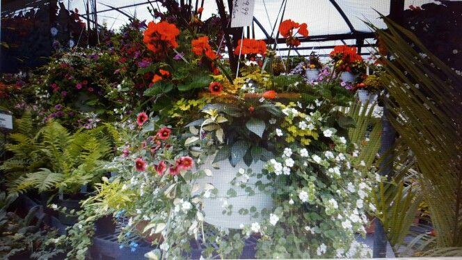 Bacopa million bells geranium variegated vinca New Guinea impatiens.good mix