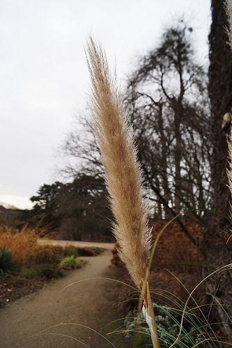 Botanischer Garten Berlin Dahlem Cortaderia Selloana Cortaderia Pampas Grass