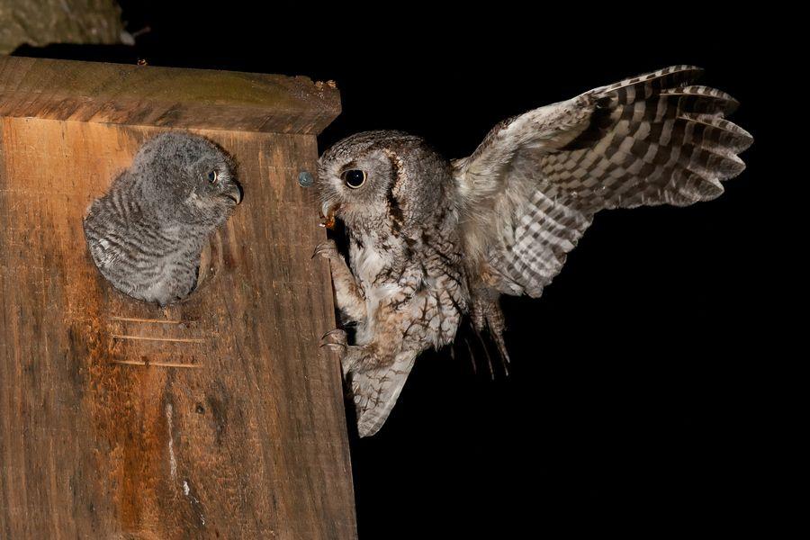 Screech owl feeding its young | Screech owl, Owl ...
