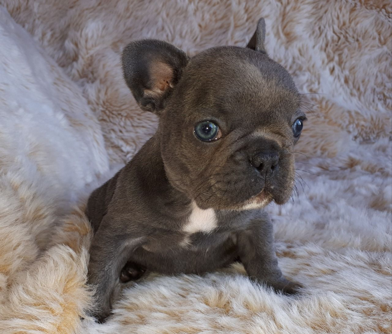 Stunning French Bulldog Puppies Ready Now frenchieforsale