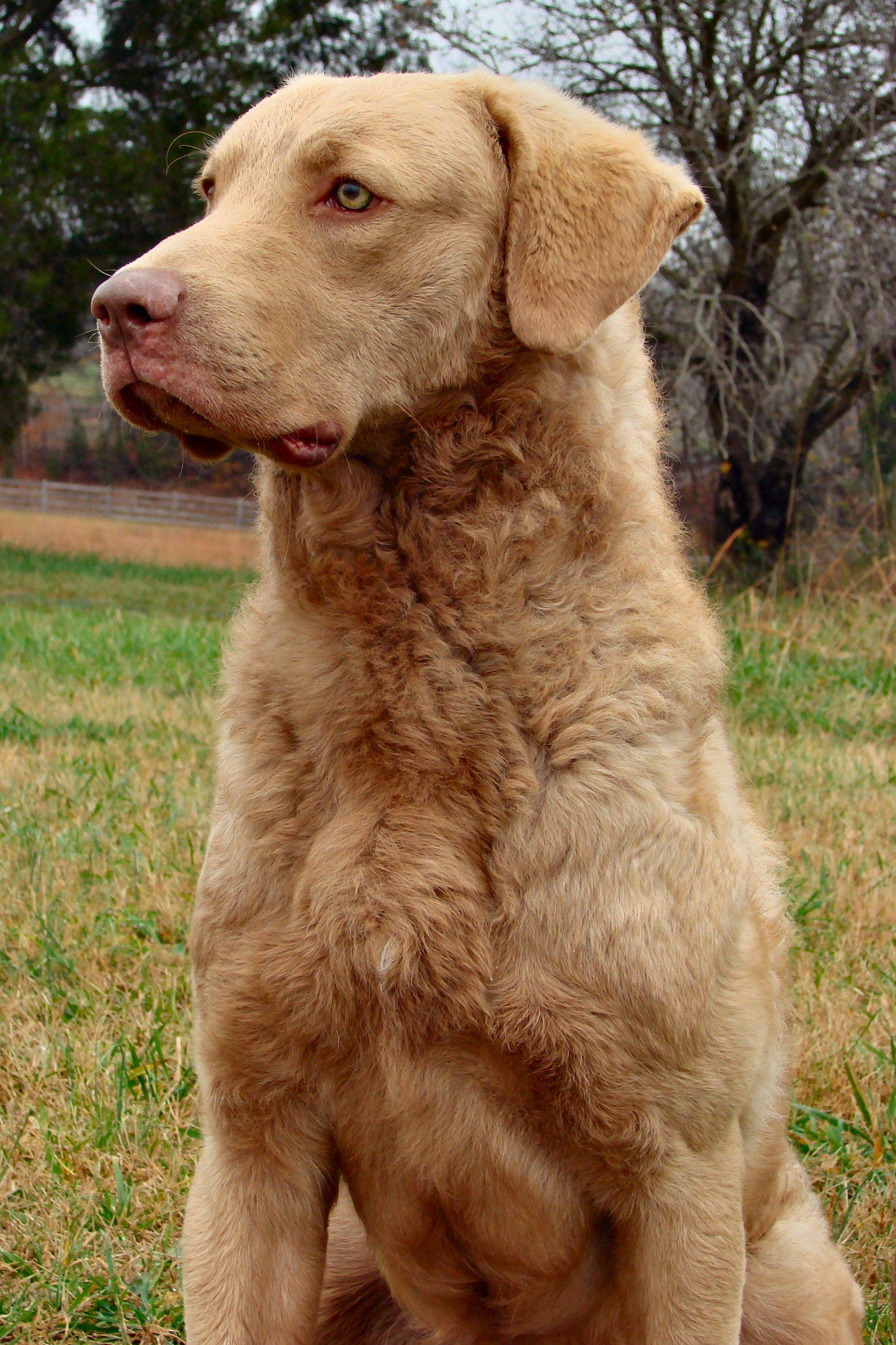 Chesapeake Bay Retriever Dogs Chesapeake Bay Retriever Dog Breeds