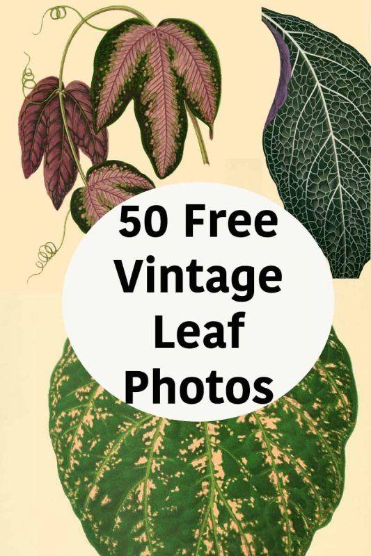 50 Free Vintage Leaf Images