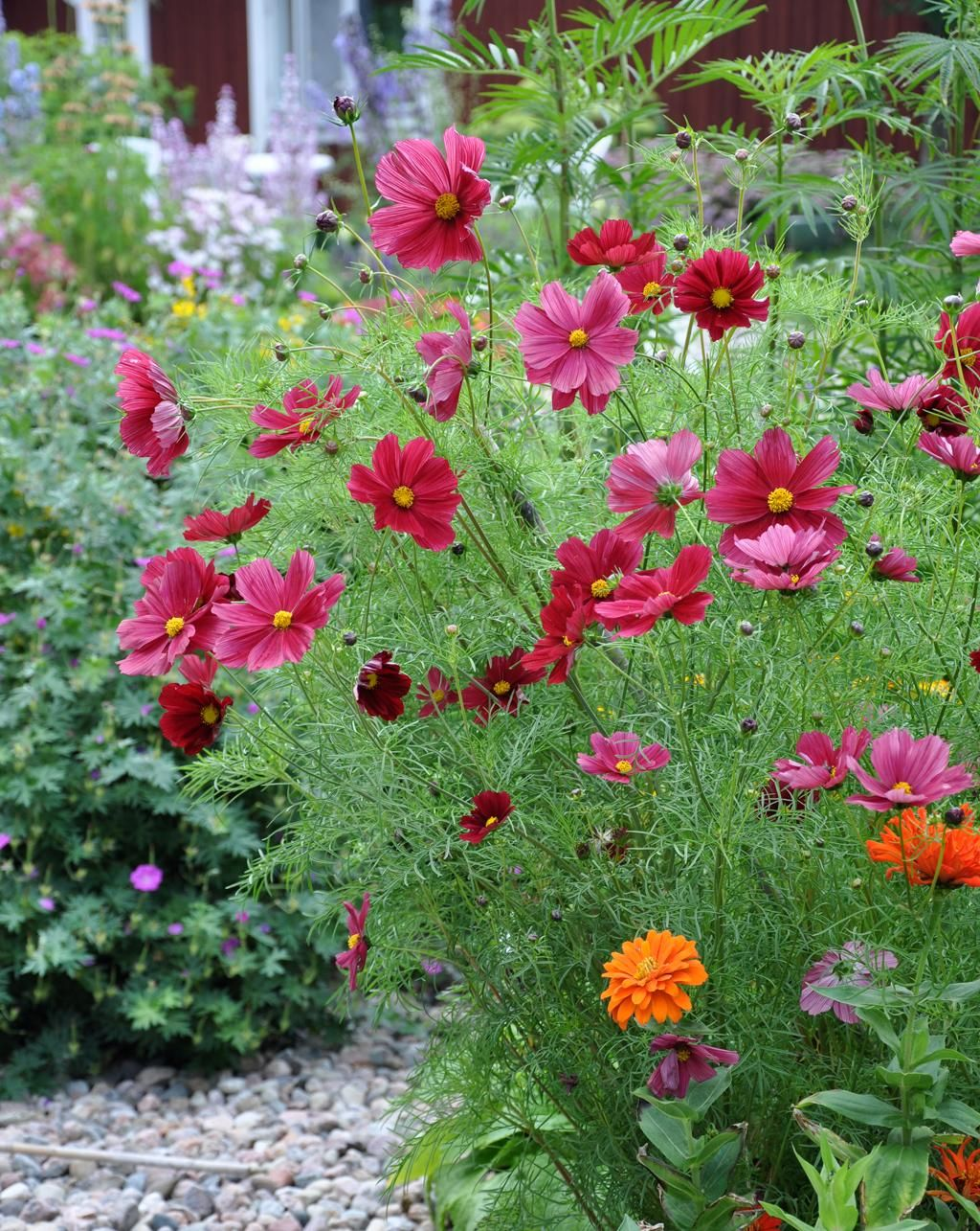 Cosmos rubenza exterior pinterest cosmos gardens and plants 100 seeds winstructions rare fashionable color to cosmos the dark ruby red color of the 2 to 3 blooms is unusual for cosmos izmirmasajfo