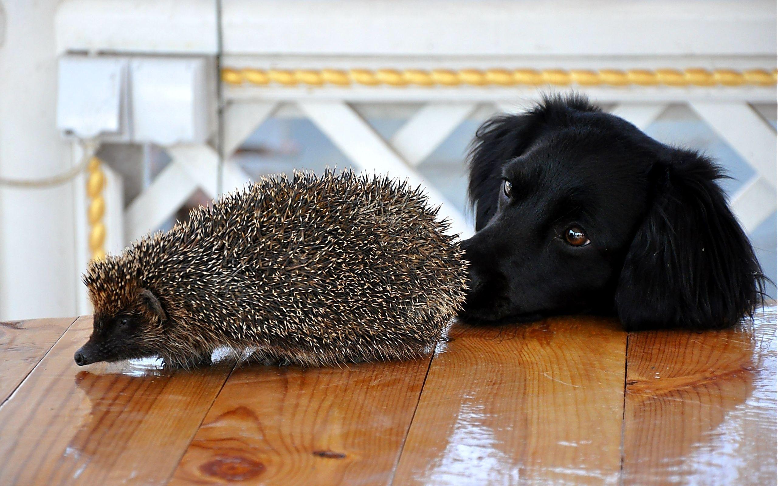 Dog and Hedgehog