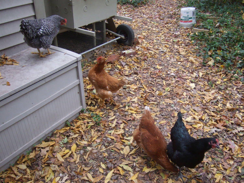 Hen Hideout | Chickens backyard, Chickens, Chicken tractors