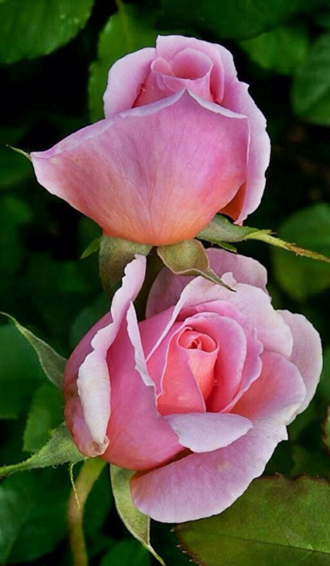 Pin By Haisun Hong On Pinterest Flowers Rose And Flower