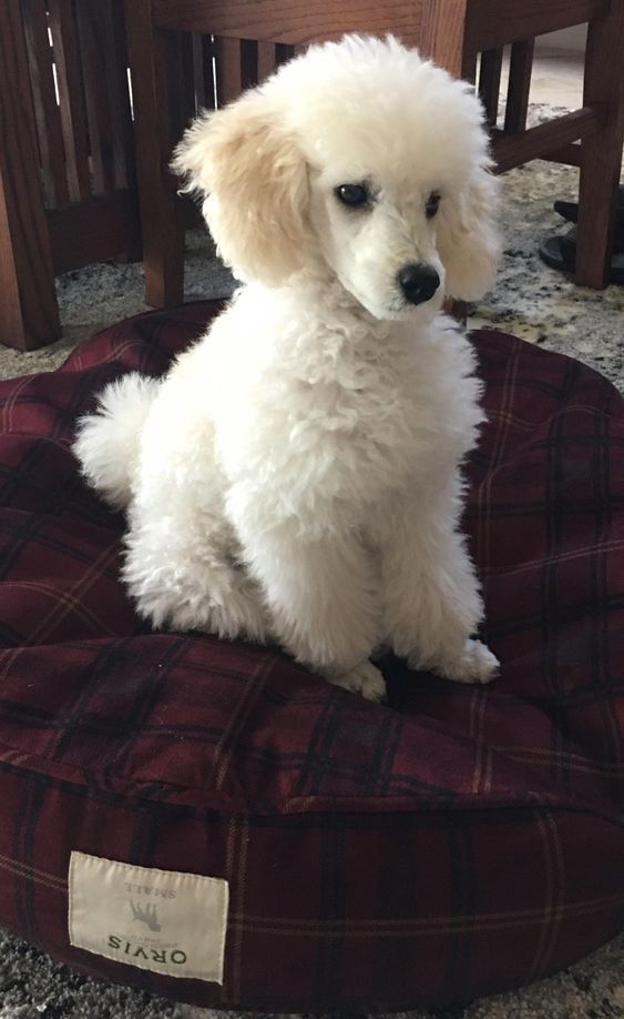 15 Useful Facts For Those Who Want To Adopt a Poodle | PetPress