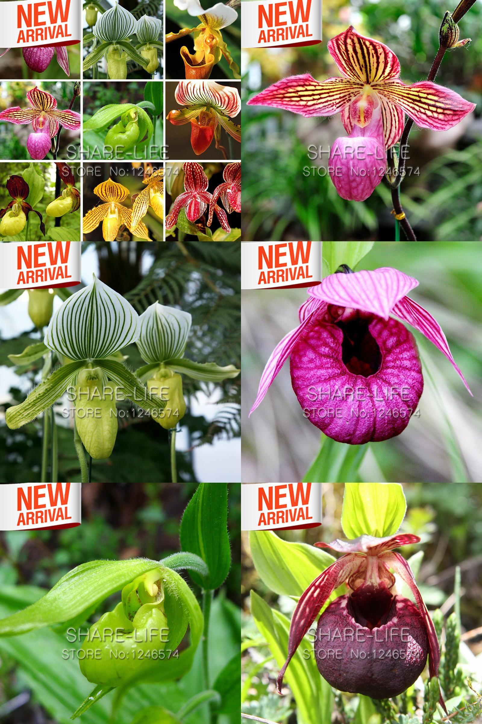 Visit to buy color varieties cypripedium seed balcony bonsai