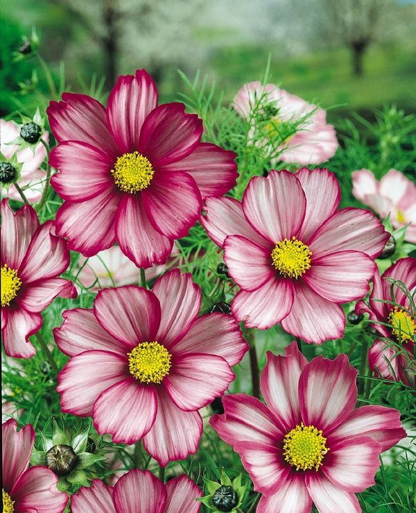 Candy Stripe Cosmos Cosmos Flowers Beautiful Flowers Planting Flowers