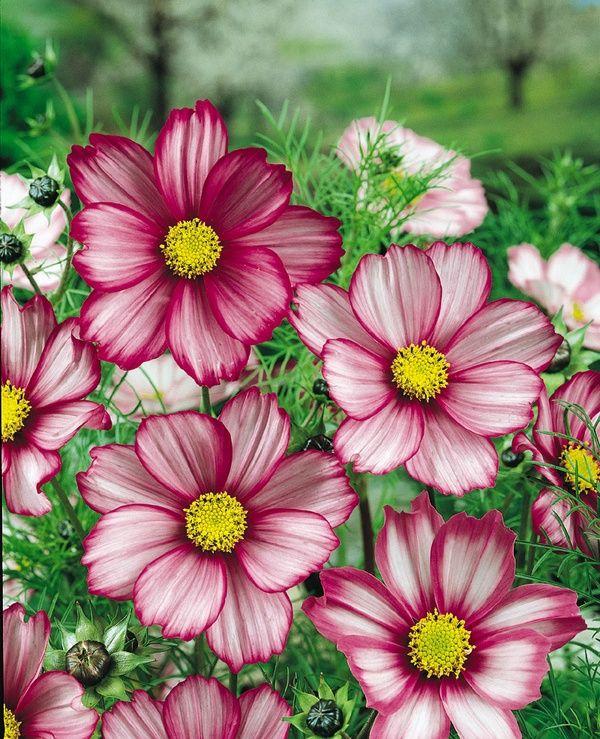 Pensieridifettosi Cosmos Flowers Cosmos Flowers Garden Beautiful Flowers