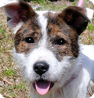 Dd 31 Bull Jack English Bulldog Jack Russell Terrier With