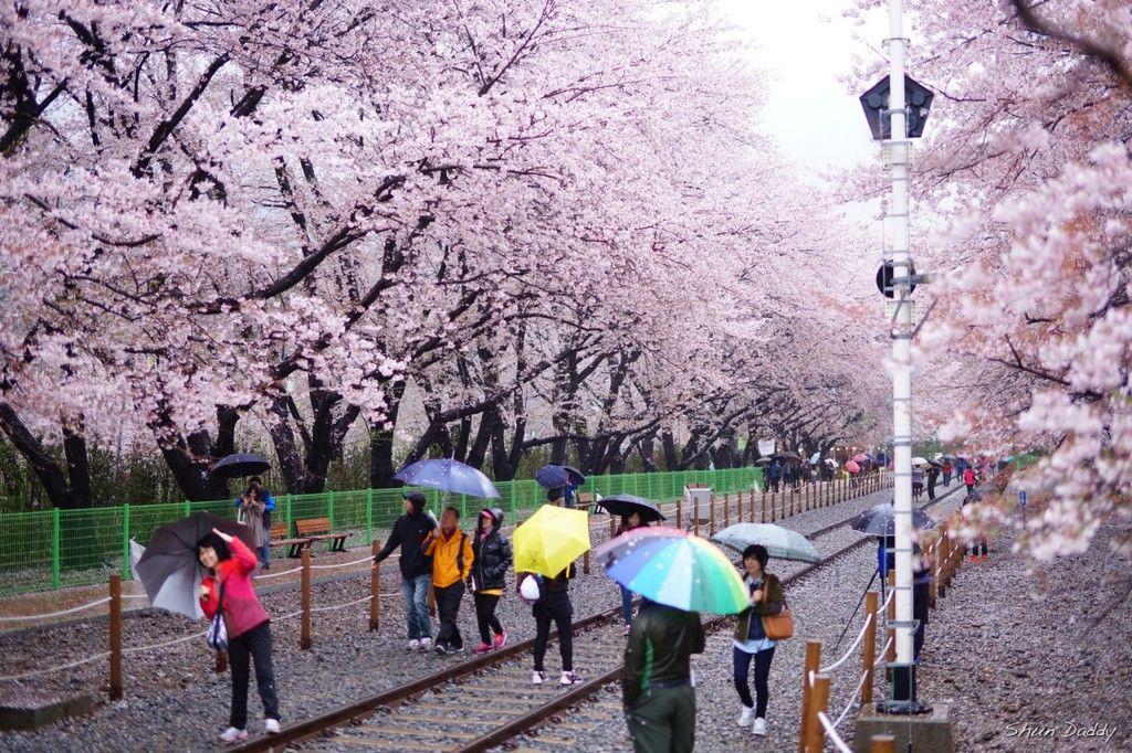 Top 5 Cherry Blossom Festivals In South Korea In 2017 South Korea Travel Around Korea