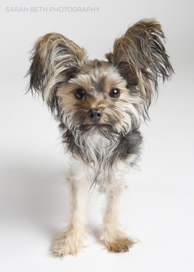 Adopt Lulu On Petfinder Terrier Mix Dogs Terrier Mix Yorkshire Terrier