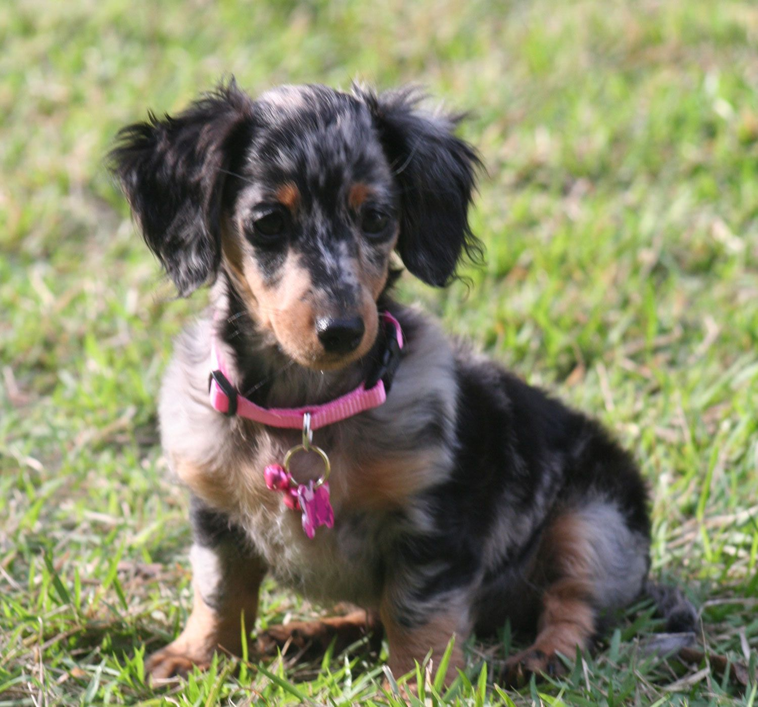 Silver Dapple Miniature Dachshund Puppies Puppies For Sale
