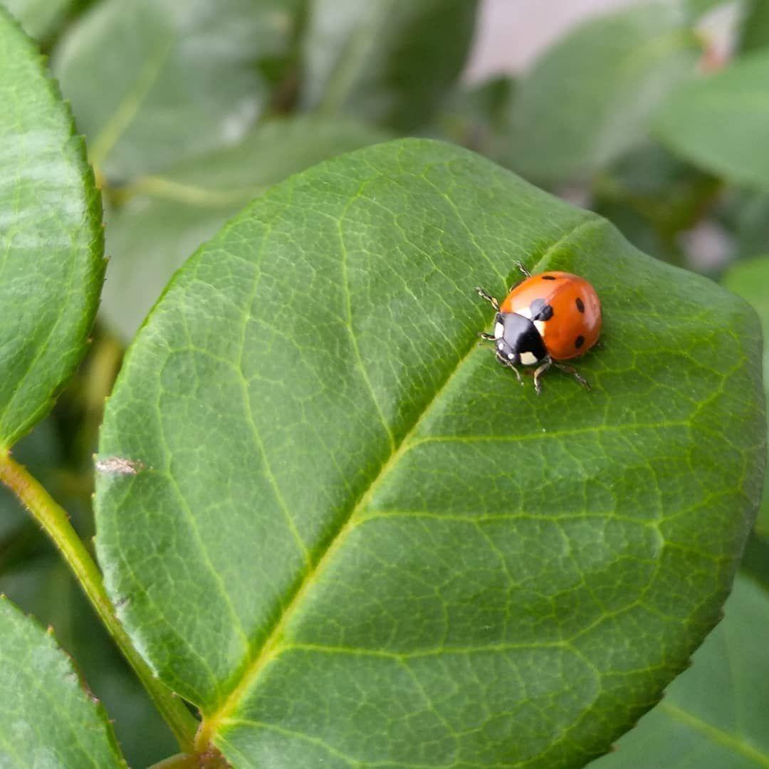 Marienkafer Lieblingskafer Rosenblatt Ladybug Garten Gardening Gartenarbeit Gartendeko Garden Gardenideas Garte Garten Ideen Gartengestaltung Garten
