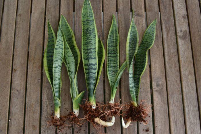 サンスベリア トラノオ の育て方や植え替え方法 増やし方 葉挿し