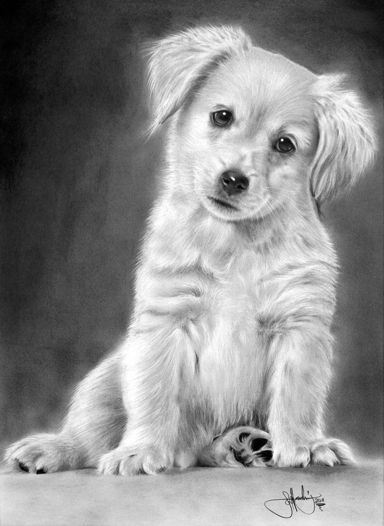 how you draw a cute dog Golden Retriever Puppy drawing