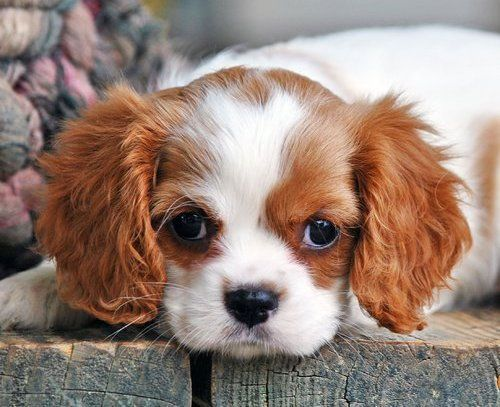 Teacup Cavalier King Charles Puppies | Cavalier King Charles Spaniel Puppies For Sale