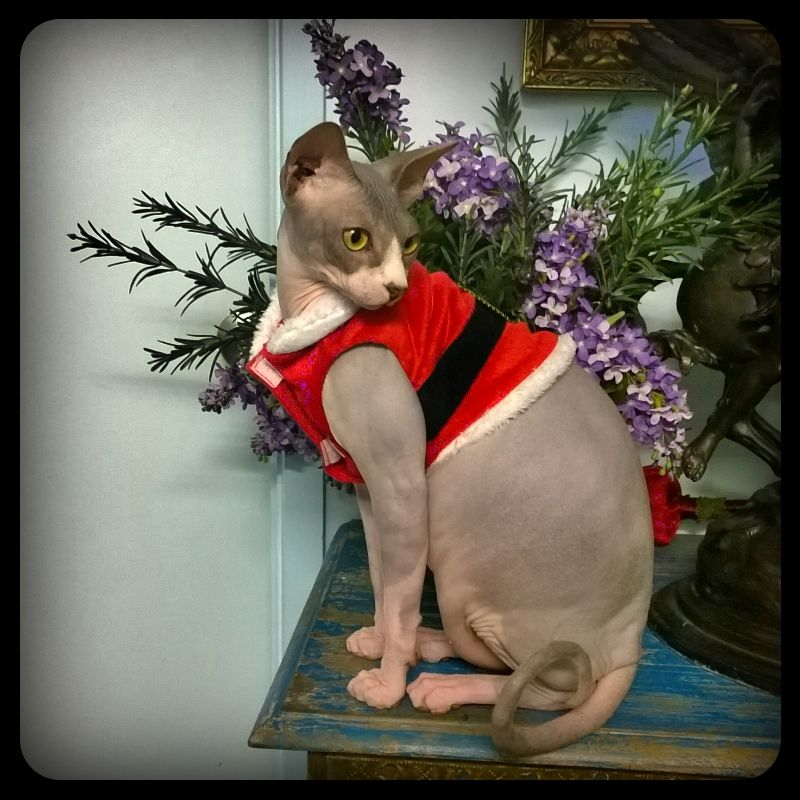 Pin By Dentist In Melbourne Dr Zenaidy Castro On Cute Pet Sphynx Cats In Costumes Kittens In Costumes Cute Animals Cute Cats